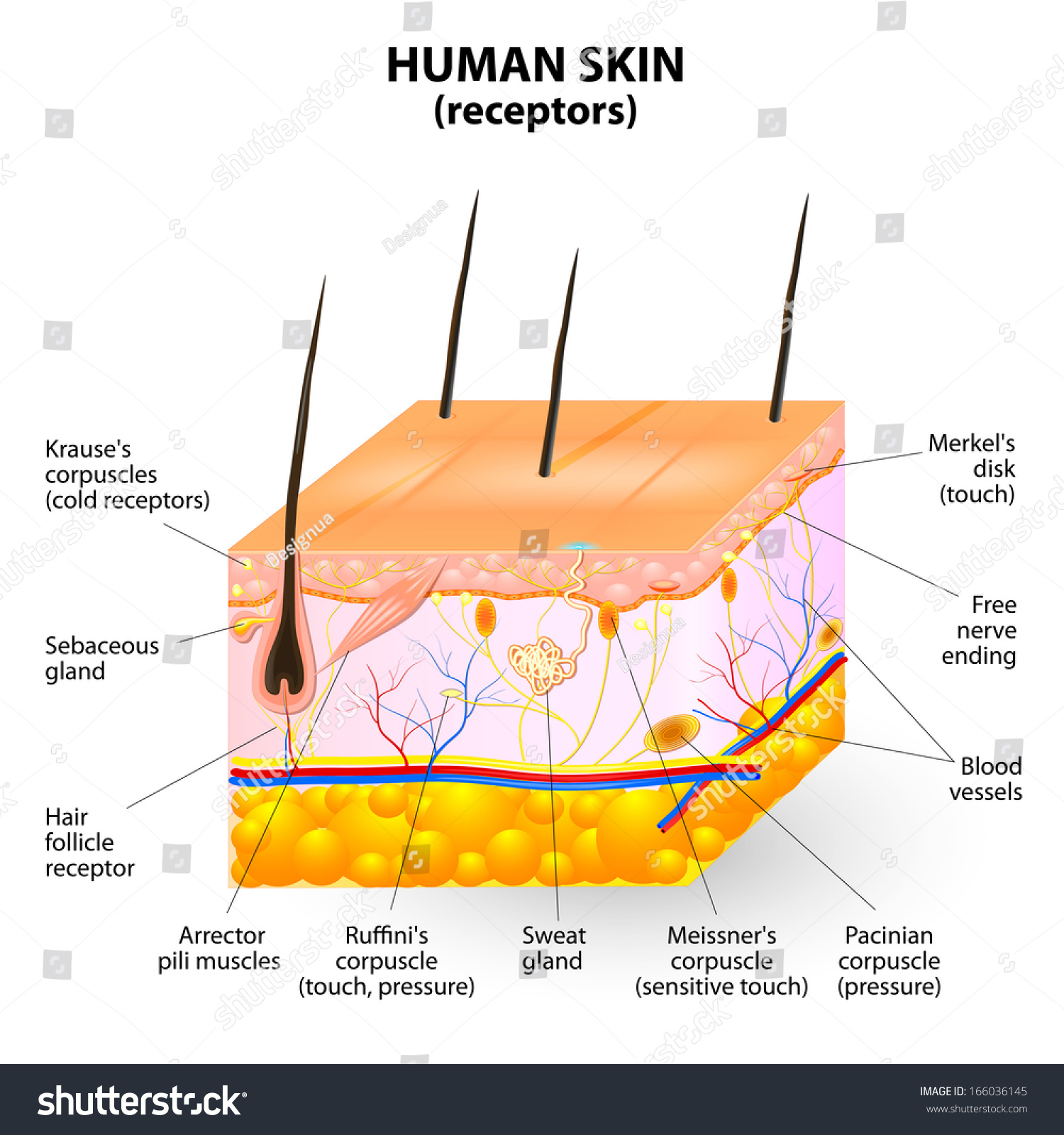 Human Skin Layer Cross Section Stock Photo
