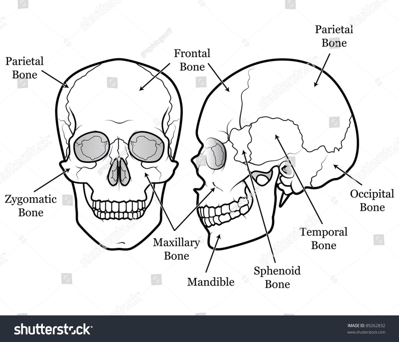 human mandible diagram 2006 chrysler pacifica parts skull chart stock illustration 89262832 shutterstock