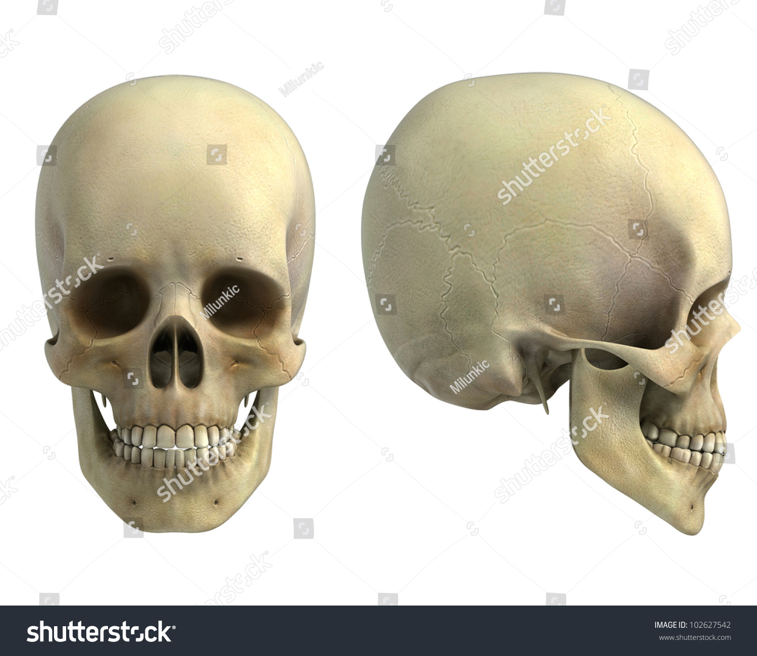 Human Skull Front Side View Isolated Stock Illustration