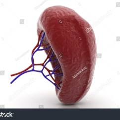 Liver And Spleen Diagram 4l60e Transmission Wiring Human Stock Photo 150389330 Shutterstock