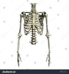 human torso skeletal system [ 1500 x 1600 Pixel ]