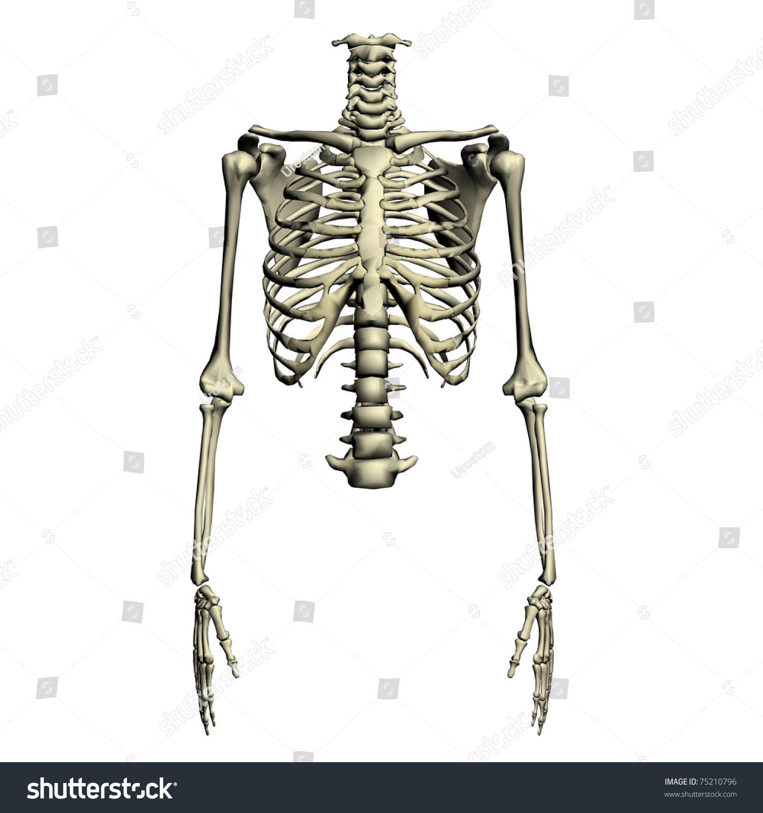 hight resolution of human torso skeletal system