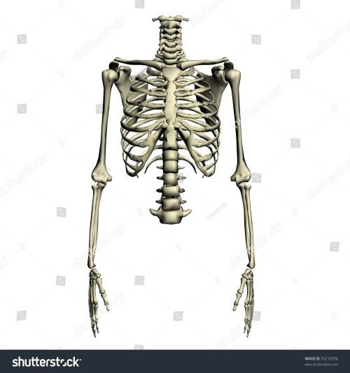 small resolution of human torso skeletal system