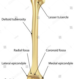 humerus labeled diagram stock illustration 181112825 diagram of bone with labels [ 1125 x 1600 Pixel ]