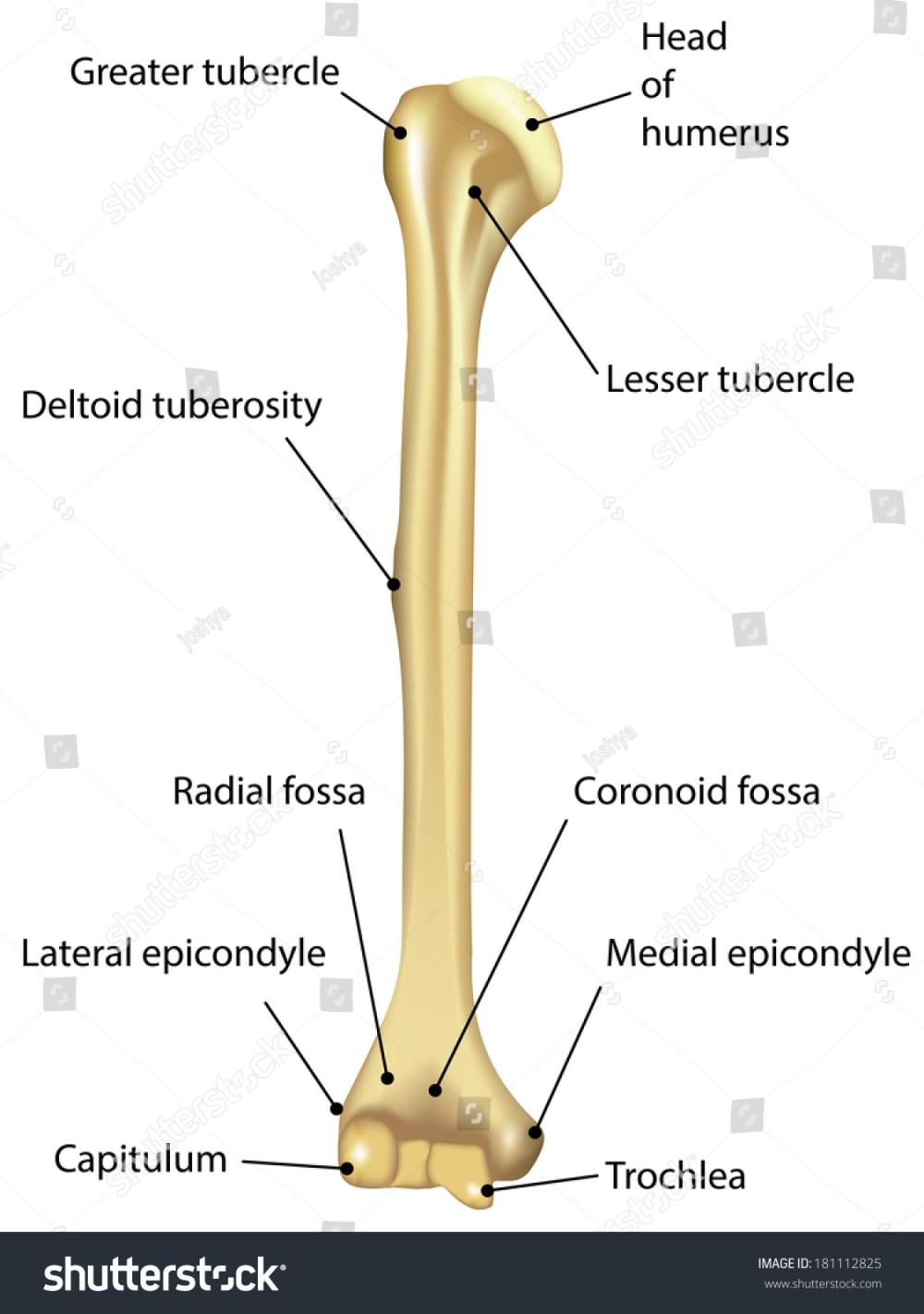 medium resolution of humerus labeled diagram stock illustration 181112825 diagram of bone with labels