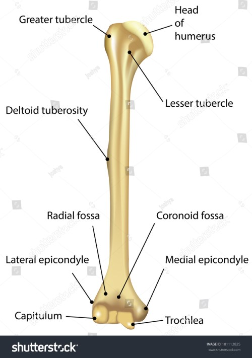 small resolution of humerus labeled diagram stock illustration 181112825 diagram of bone with labels
