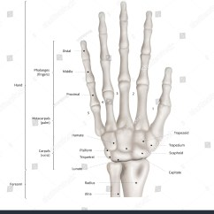 Wrist And Hand Unlabeled Diagram Mr2 3sgte Wiring Royalty Free Stock Illustration Of Infographic Human Bone Anatomy System Anterior View 3d