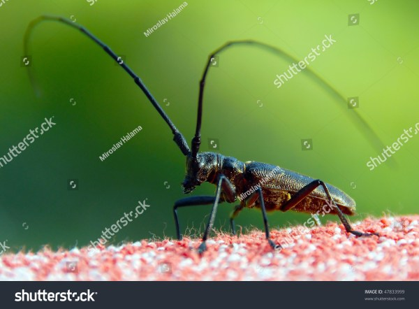Insect Long Antennae Stock Photo 47833999 Shutterstock