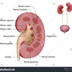 Diagram Of Where Kidneys Are Vw Golf Mk2 Horn Wiring Kidney Anatomy Labeled Stock Illustration 147943940