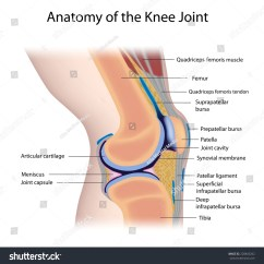 Movements Allowed By Synovial Joints Diagram Sonoff T1 Wiring Knee Joint Anatomy Labeled Stock Illustration 228843262