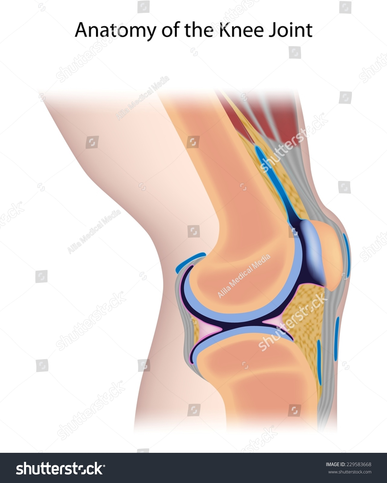 hight resolution of knee joint anatomy unlabeled