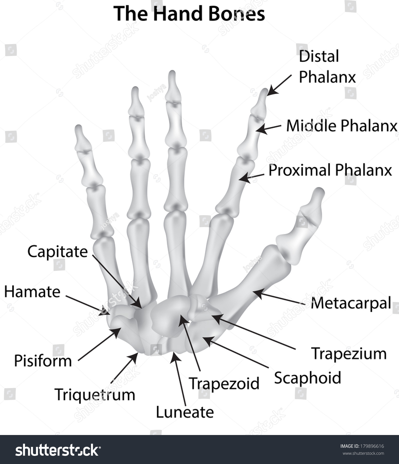 wrist and hand unlabeled diagram 3 way toggle switch labeled bones carpals stock photo 179896616