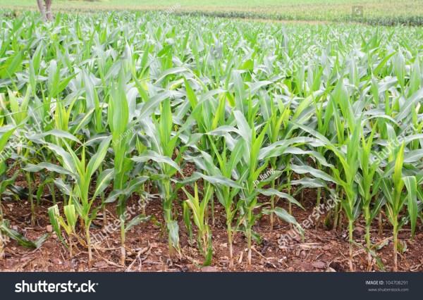 landscape of corn field stock