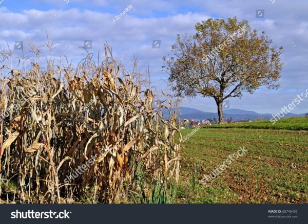 landscape indian corn field stock