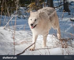 wolf running female snow arctic loup lupo fresh domestico shutterstock portrait wolves proie foresta bestia attraverso funzionamenti cammina natura bei