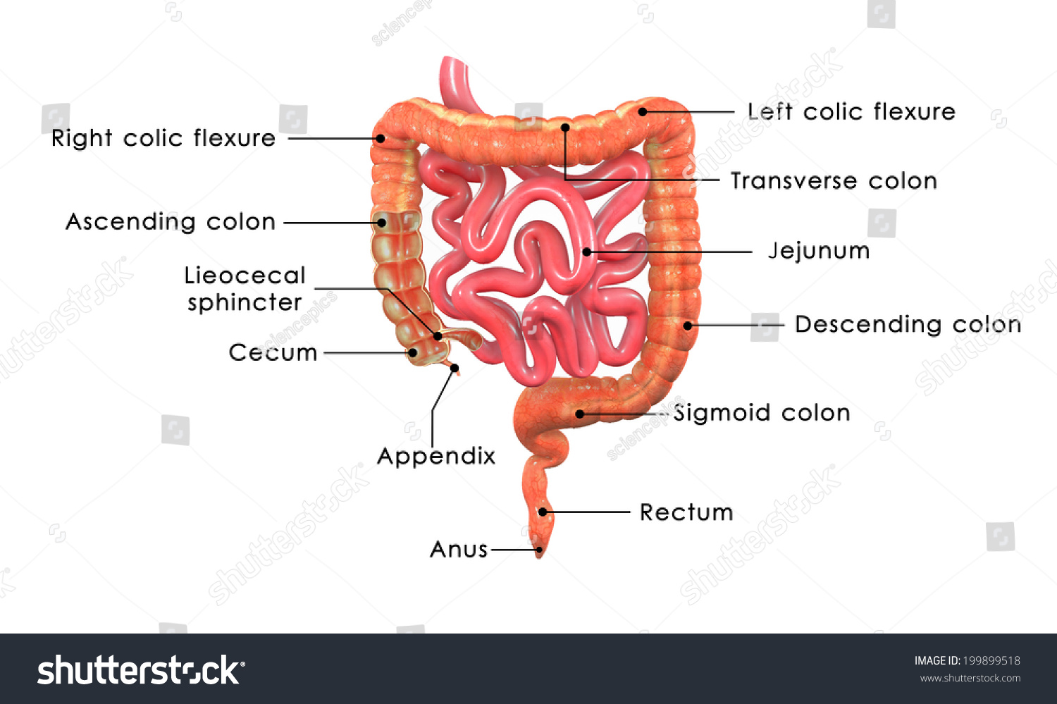 Large Intestine Labelled Stock Photo Shutterstock