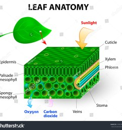 layers of a leaf diagram data wiring diagram schema cell division labeling diagram diagrams leaf cell labeling [ 1500 x 1438 Pixel ]