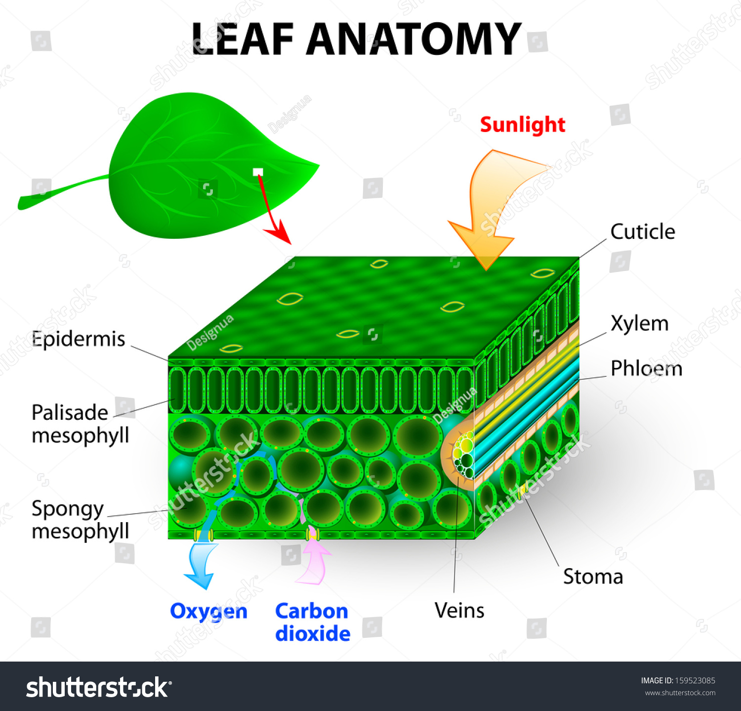 mesophyll cell diagram strong winds leaf anatomy photosynthesis chlorophyll molecule