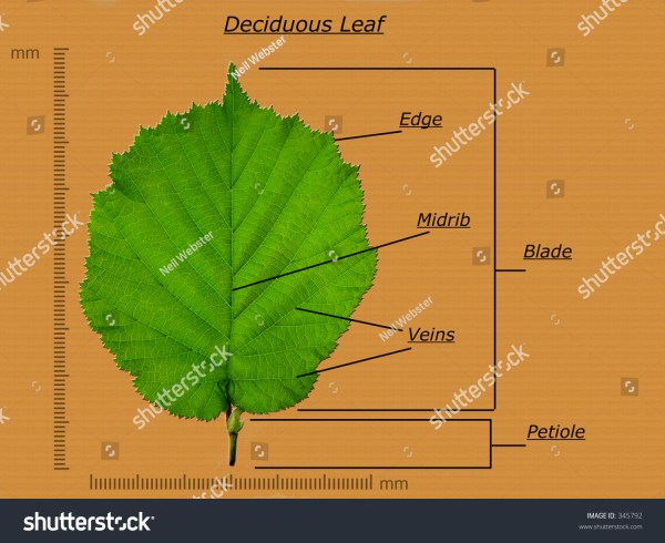 Leaf Diagram Stock 345792 - Shutterstock