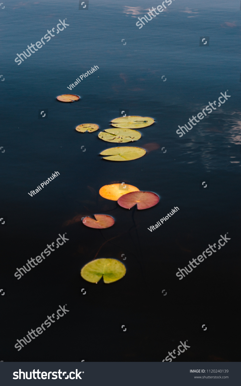 hight resolution of leaves of water lilies