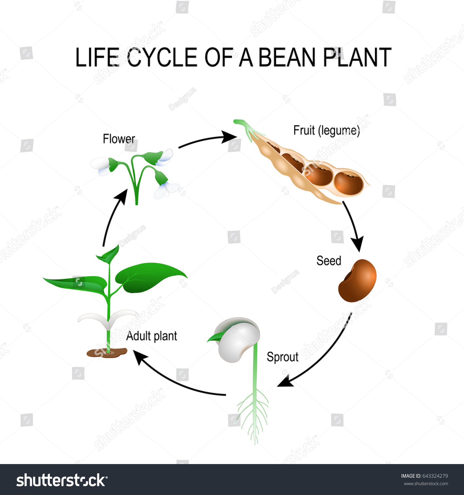 bean seedling diagram pro tach wiring royalty free stock illustration of life cycle plant stages a growing seed the most common example from to adult development