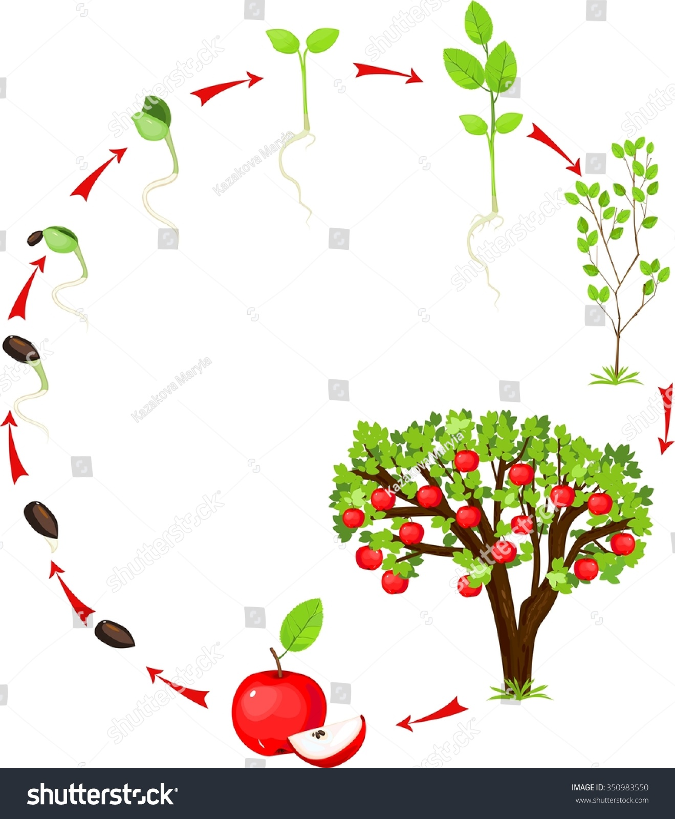 diagram of the life cycle strawberry mini quad bike wiring apple seed fruit elsavadorla