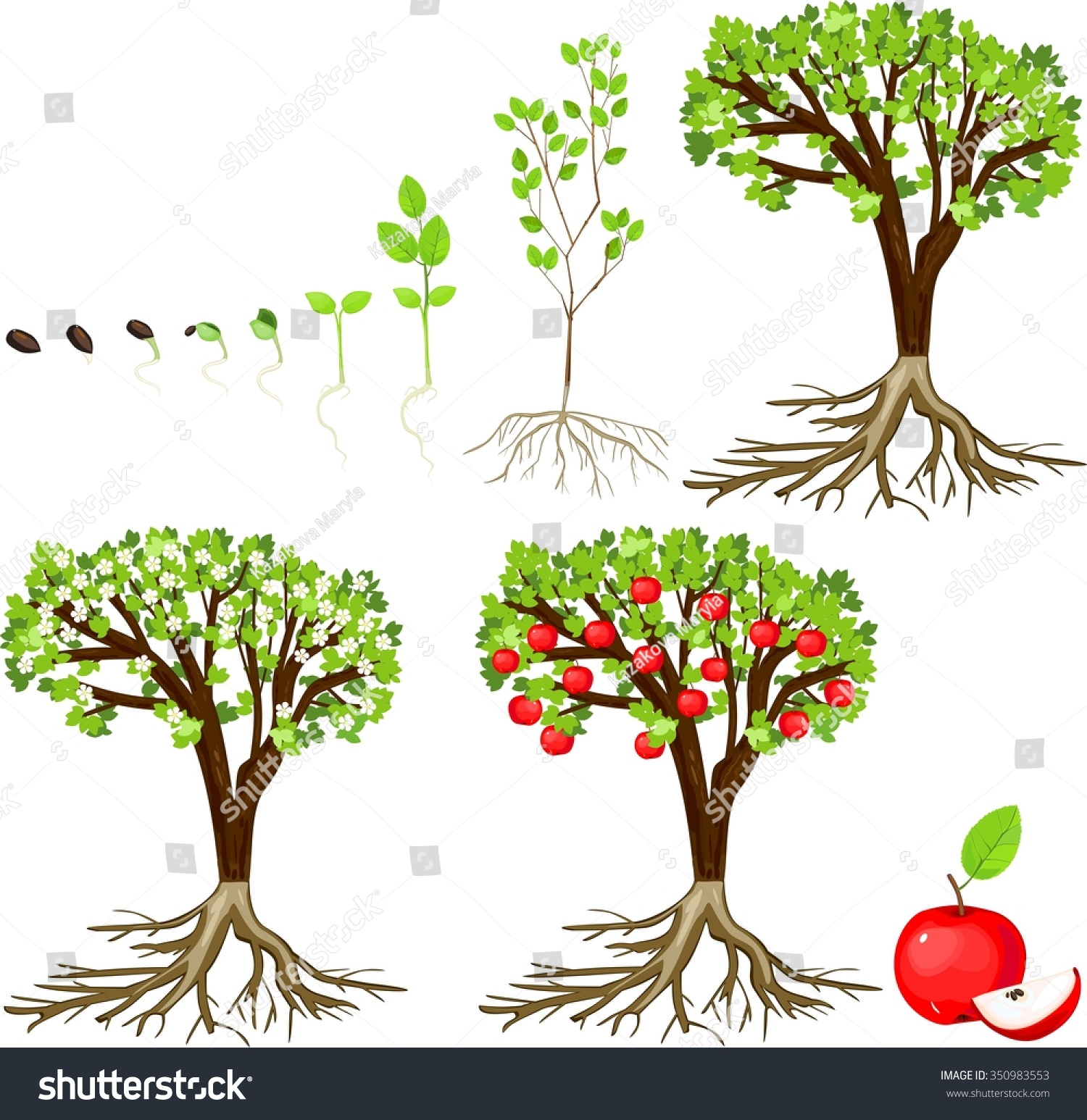 Life Cycle Of Apple Tree Stock Photo Shutterstock
