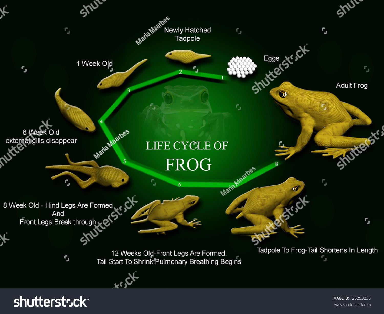 Life Cycle Of Frog Metamorphose Hyla Rana Arborea Eggs And Tadpoles Stock Photo