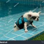 Long Coat Apple Head Chihuahua Puppy Stock Photo Edit Now 1676346427