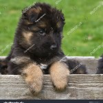 Long Haired German Shepherd Puppy Box Stock Photo Edit Now 138108272