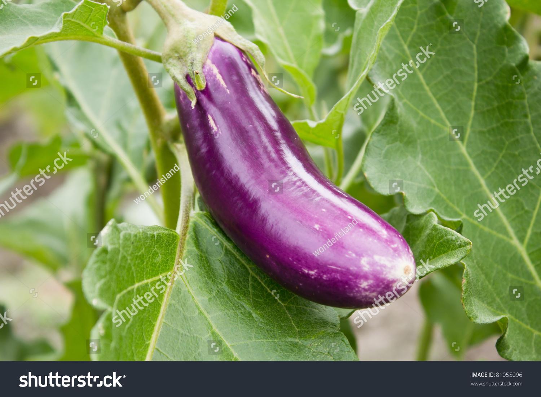 Long Purple Eggplant Stock Photo 81055096 : Shutterstock
