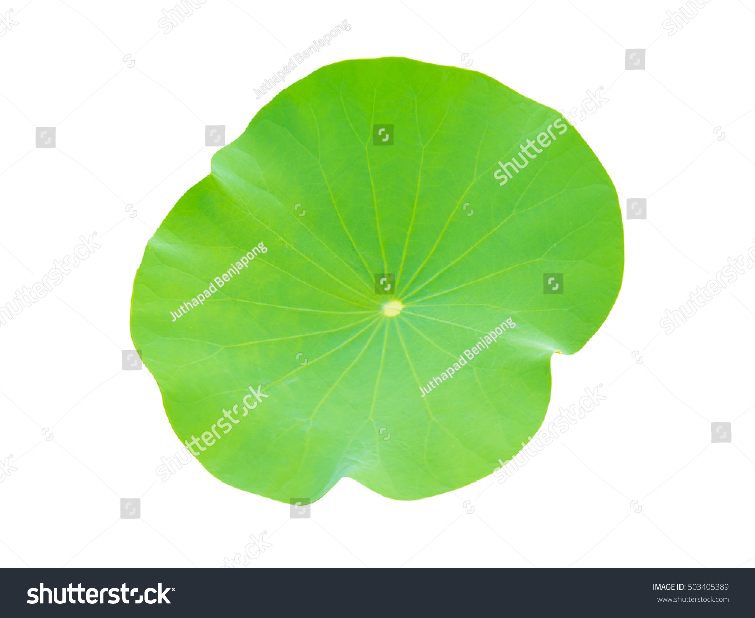 lotus in water plant diagram human ear leaf lily leave isolated stock photo edit now on white background