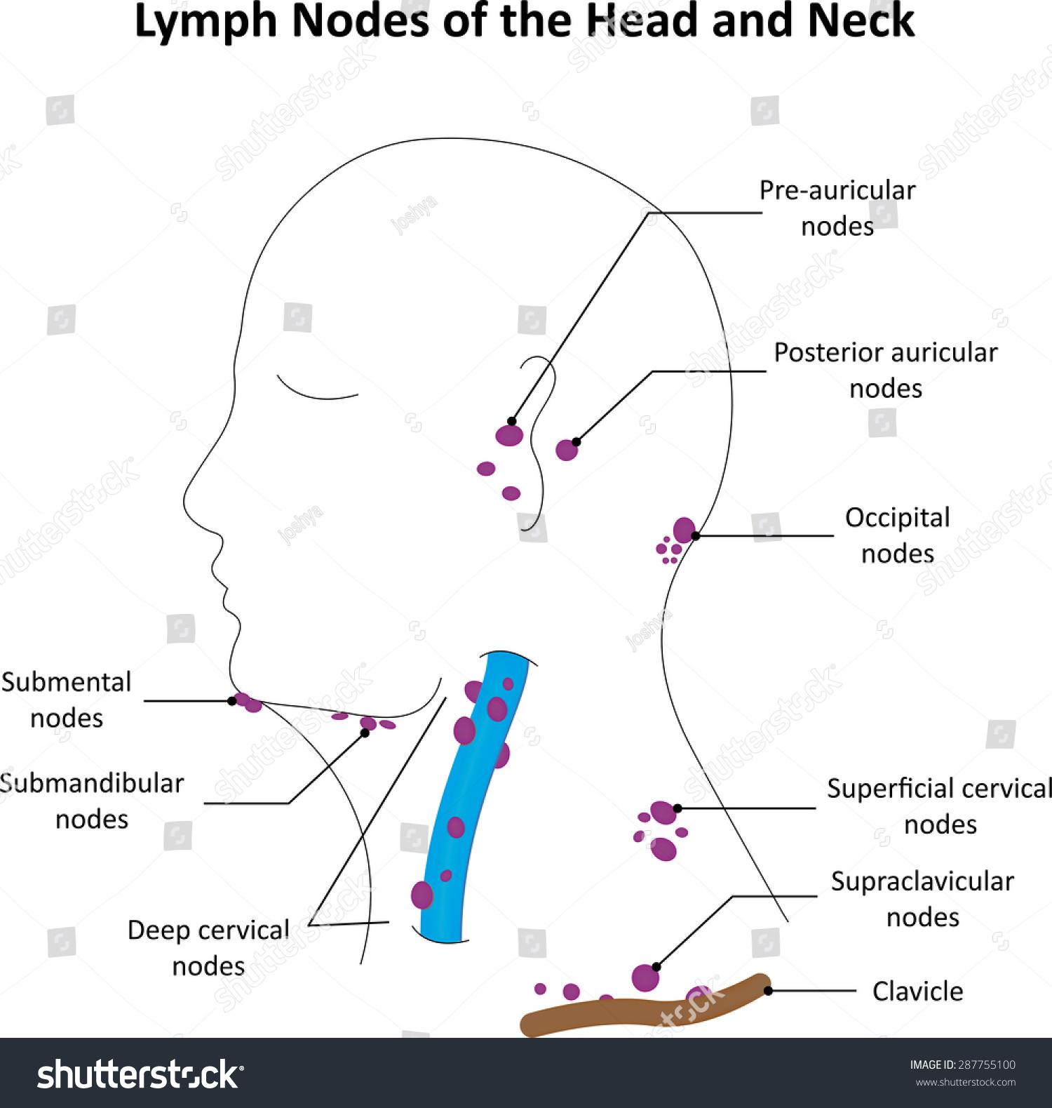 hight resolution of lymph nodes head neck labelled diagram stock illustration 287755100 diagram of lymph nodes back of head diagram of lymph nodes head