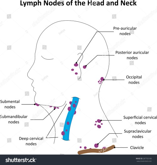 small resolution of lymph nodes head neck labelled diagram stock illustration 287755100 diagram of lymph nodes back of head diagram of lymph nodes head