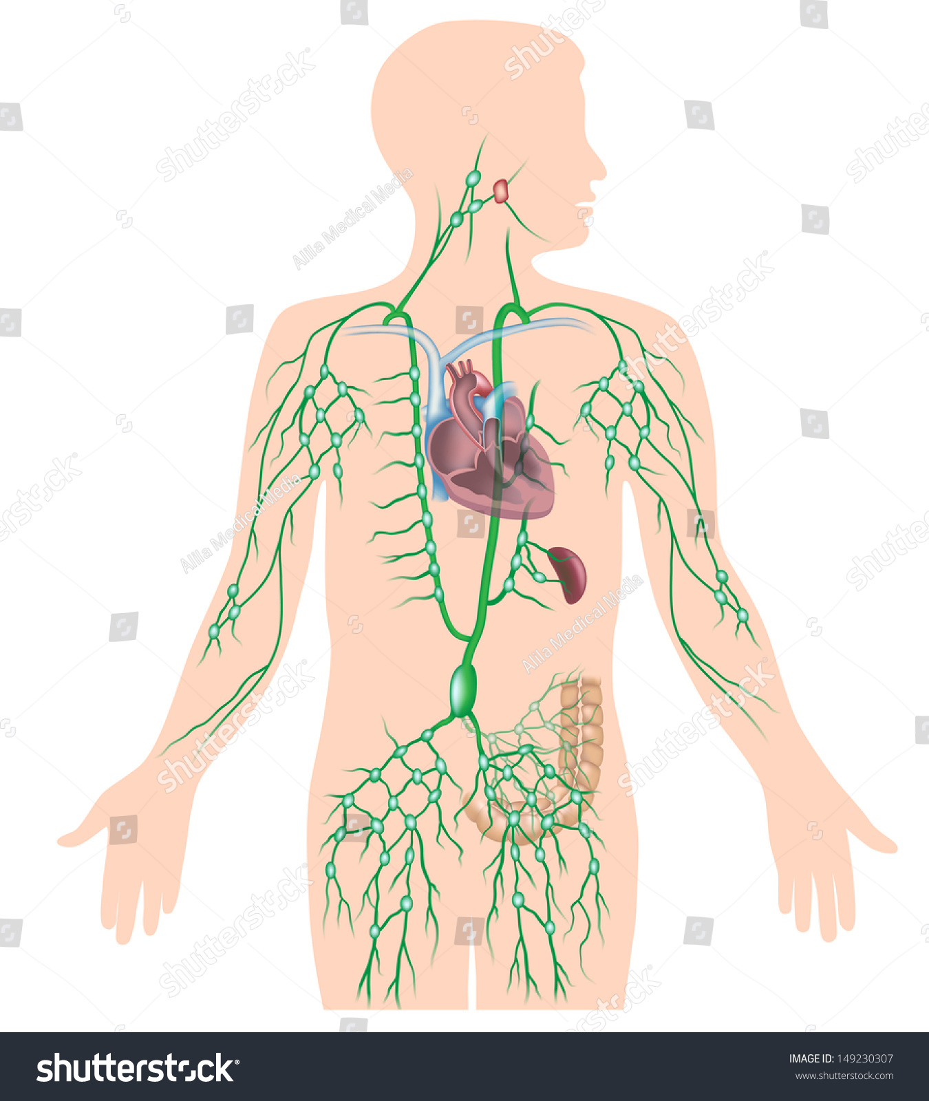 lymph circulation diagram motor control wiring diagrams lymphatic system unlabeled stock illustration