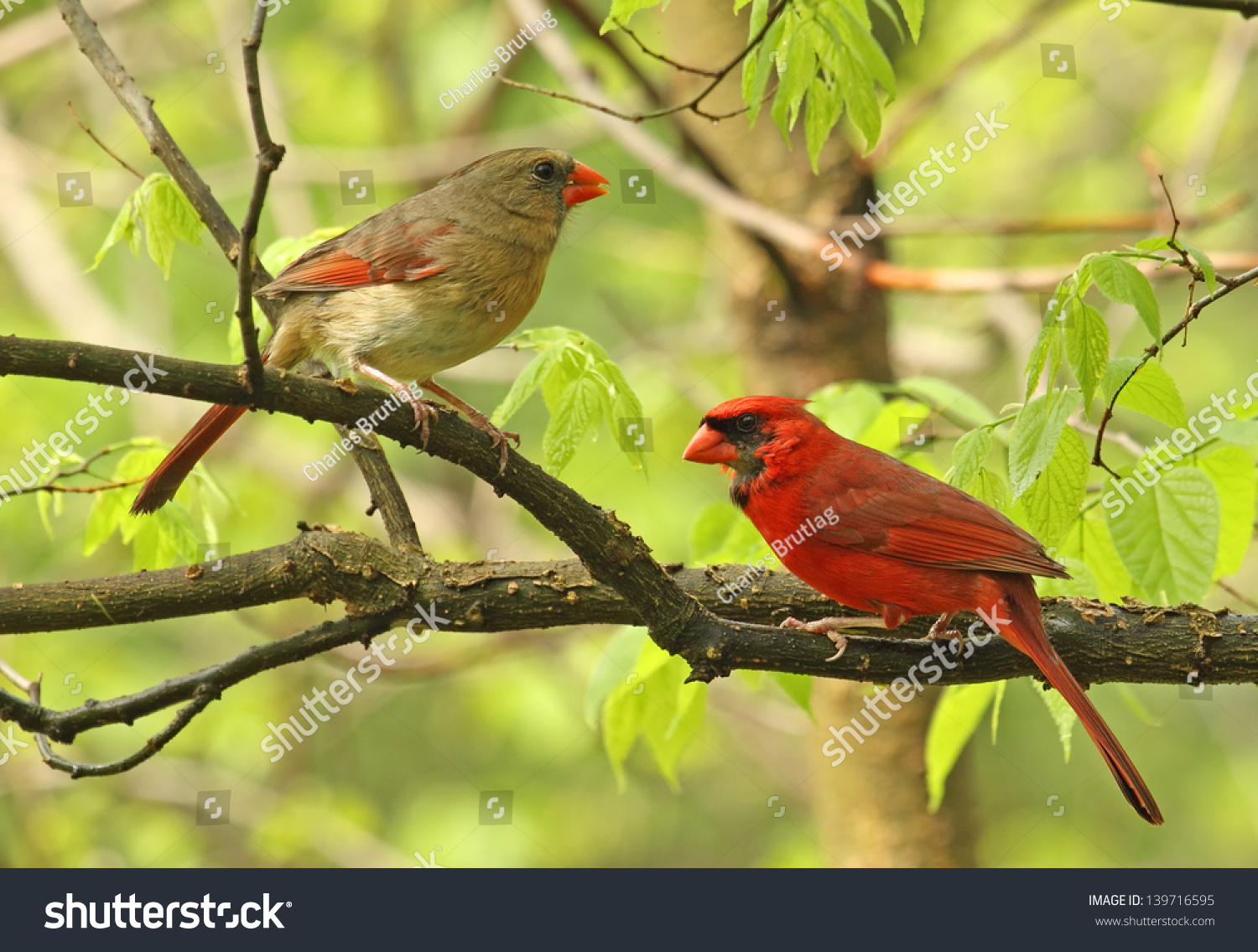Male And Female Northern Cardinal, Cardinalis Cardinalis, Perched On A Tree Branch Stock Photo 139716595 : Shutterstock