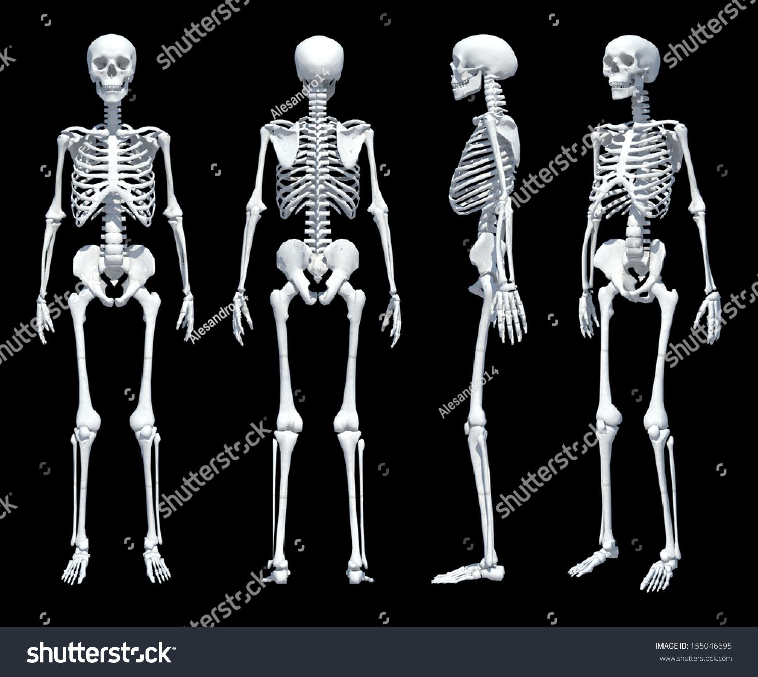 Male Human Skeleton Four Views Front Back Side And Perspective Scientifically Correct