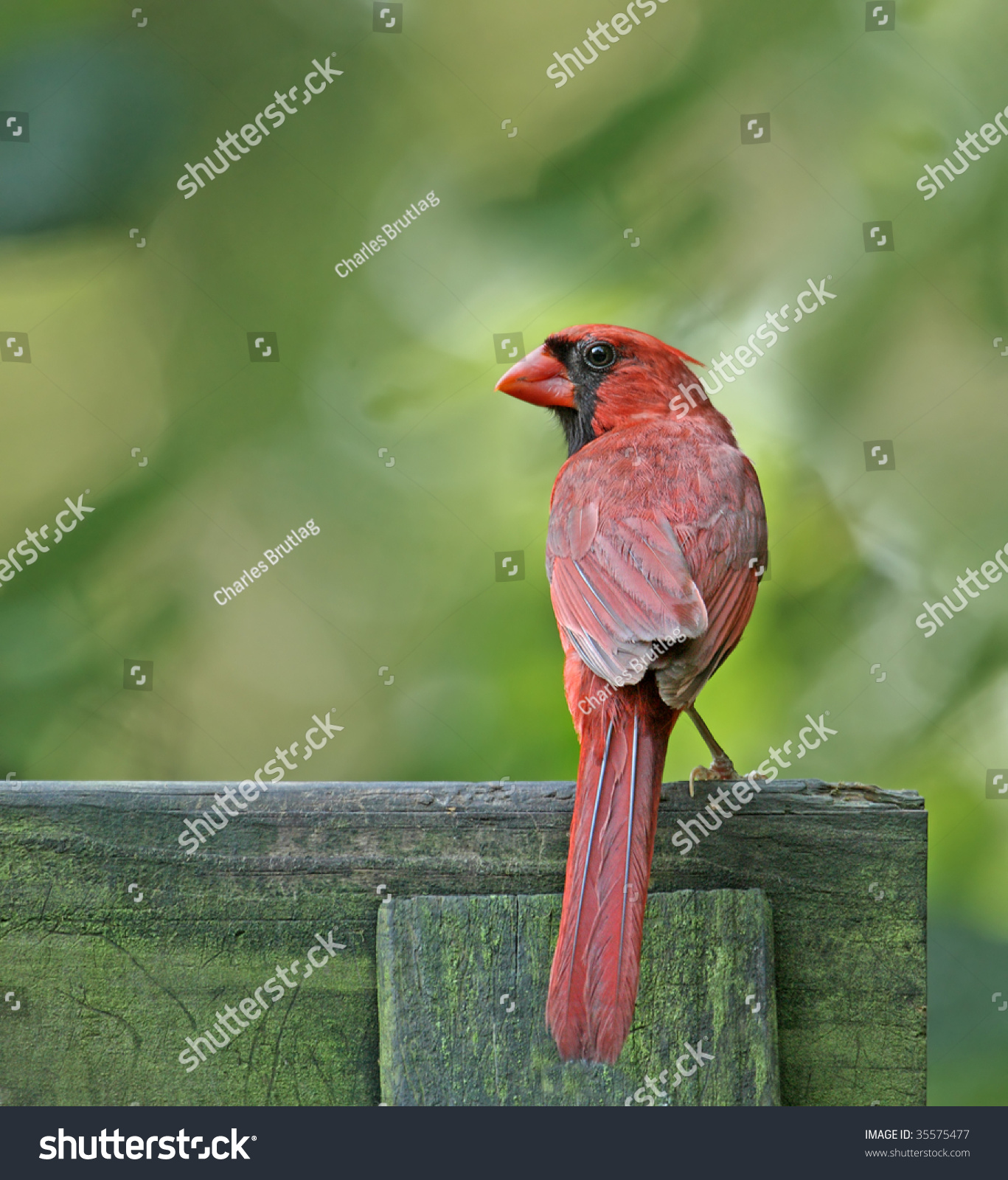 Male Northern Cardinal (Cardinalis Cardinalis) Perched On A Fence Stock Photo 35575477 : Shutterstock