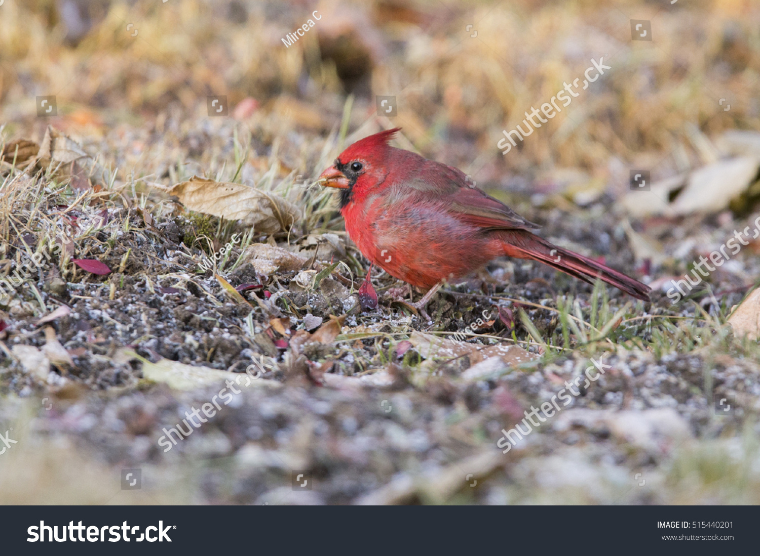Male Northern Cardinal In Winter Stock Photo 515440201 : Shutterstock