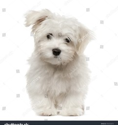 maltese puppy looking at camera 4 months old isolated on white [ 1413 x 1600 Pixel ]