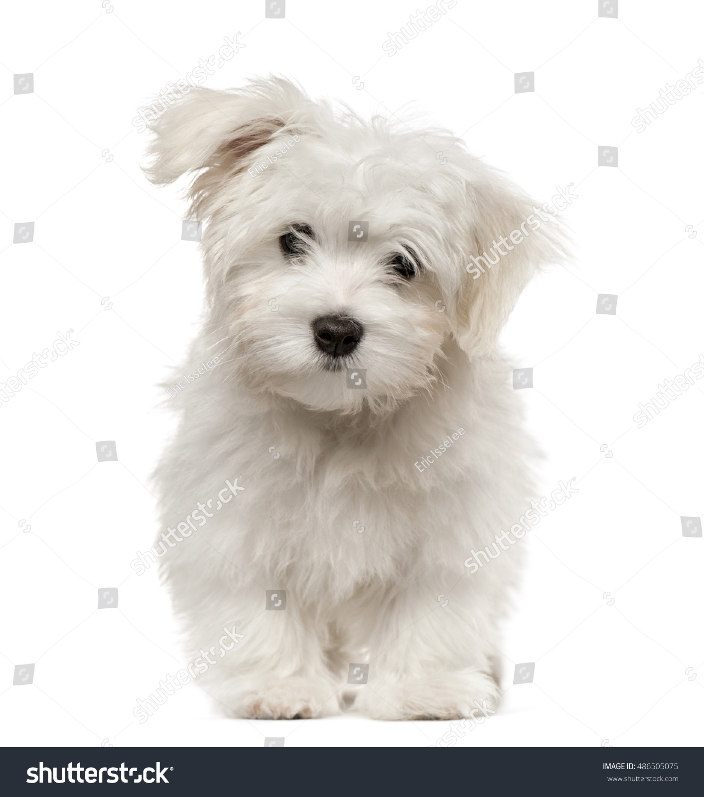 hight resolution of maltese puppy looking at camera 4 months old isolated on white