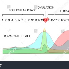 Menstrual Cycle Diagram With Ovulation Toyota Ae111 Wiring Hormone Level Average Stock