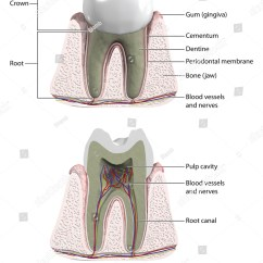 Tooth Diagram With Label Volcano Printable Molar Cross Section To Show Blood Supply And