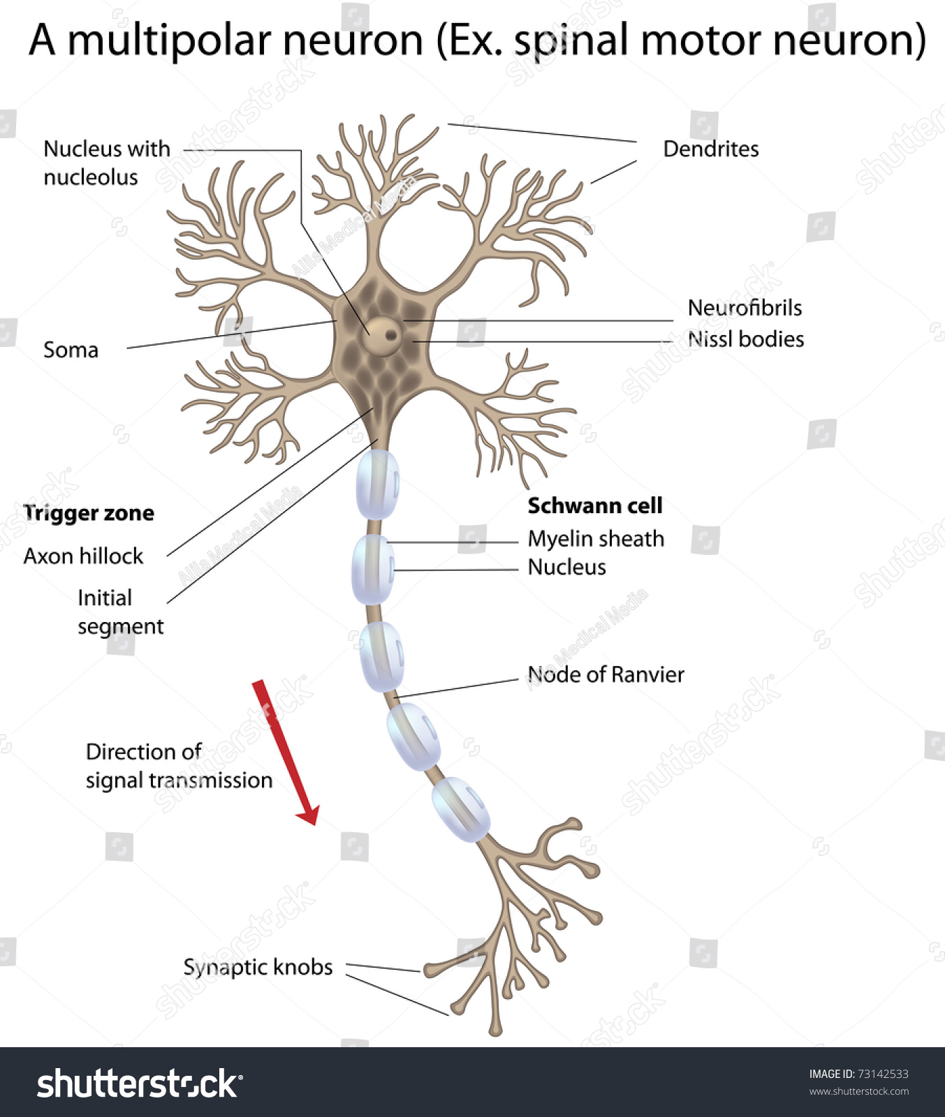 Motor Neuron Detailed Accurate Labeled Stock Illustration