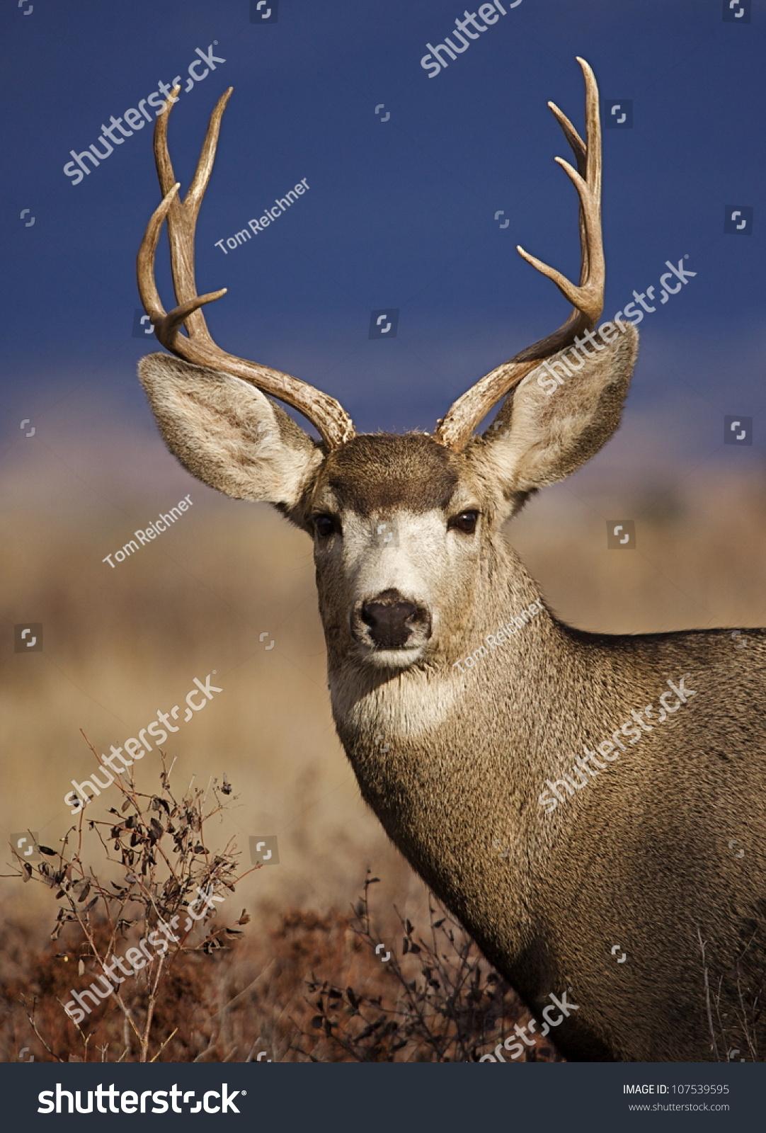 Mule Deer Buck Portrait, In Warm Evening Light With Striking Blue Background Stock Photo 107539595 : Shutterstock