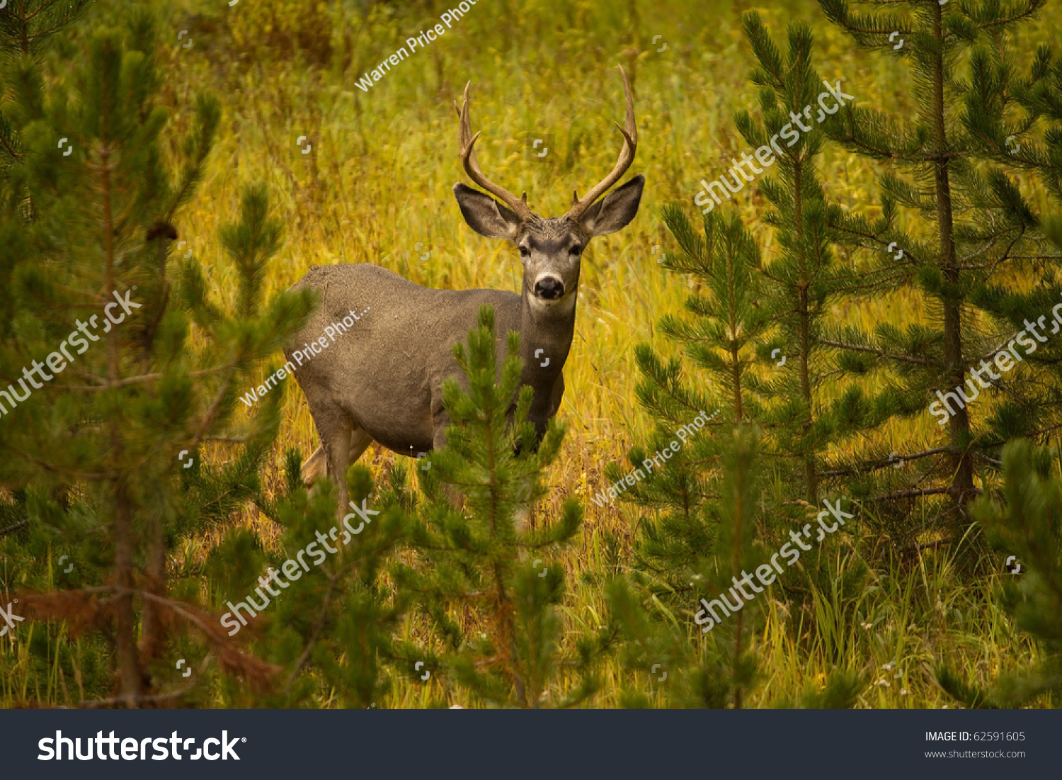 Mule Deer Buck Staring Into Camera With Pine Bushes In Foreground And Lush Grasses In Back. Taken In Yellowstone National Park. Stock Photo ...