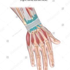 Wrist And Hand Unlabeled Diagram 1991 Mazda Miata Fuse Box Muscles Back View Stock Illustration Royalty Free Of