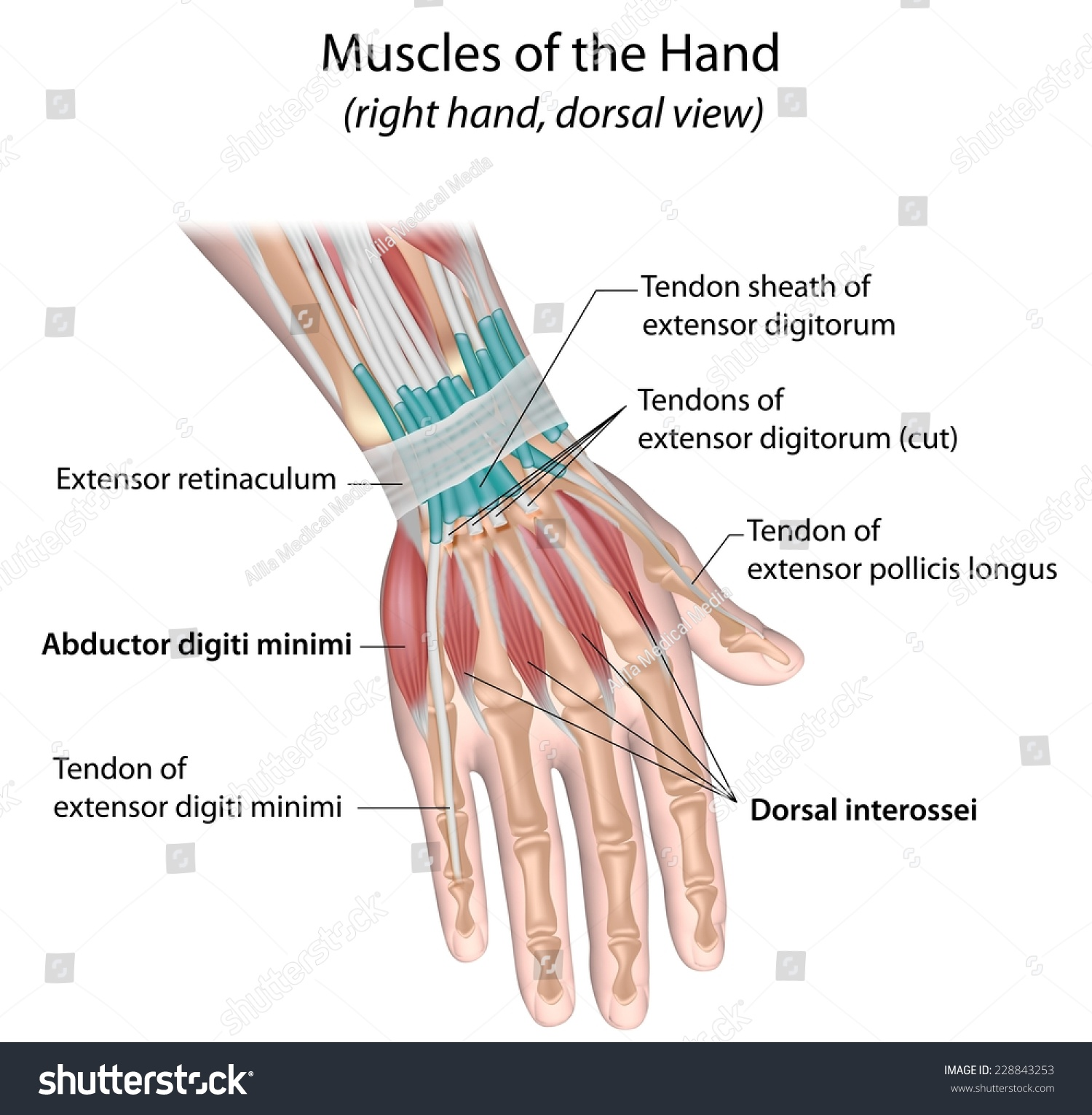 muscle diagram dorsal limitorque wiring diagrams muscles hand view labeled stock illustration 228843253 of