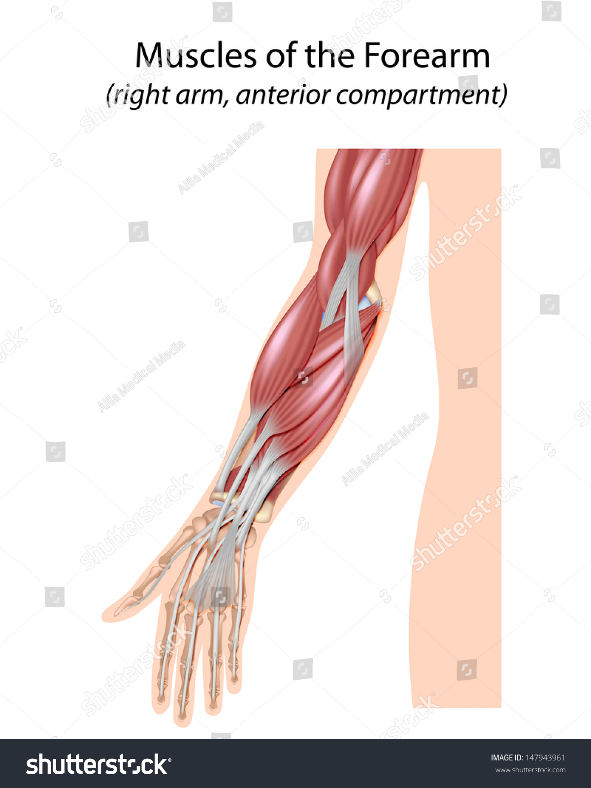upper arm muscles diagram communism vs fascism venn of the forearm unlabeled stock photo 147943961