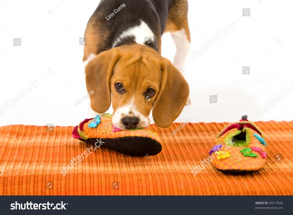 Beagle Puppy Chewing